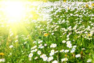 daisies in a meadow with sunlightの写真素材 [FYI00702244]