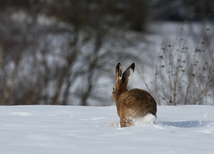 hare in winterの素材 [FYI00702727]