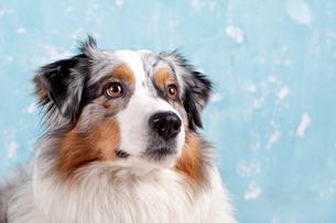 australian sheepdog portraitの写真素材 [FYI00703166]