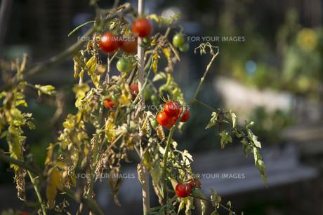 vine tomato,tomato on the vine in the gardenの素材 [FYI00703373]