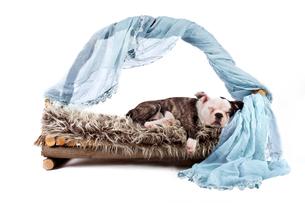 sleeping bulldog - puppyの写真素材 [FYI00703385]