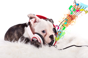 baby bulldog listen to musicの写真素材 [FYI00705993]