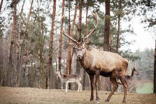 red deer stag in autumn fall forestの写真素材 [FYI00707050]
