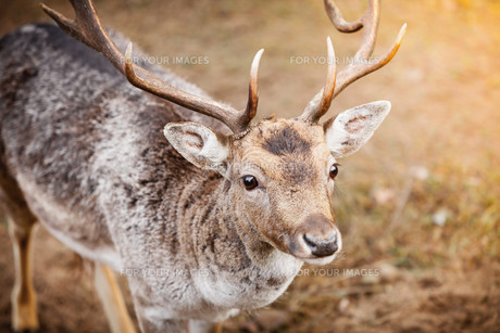red deer stag in autumn fall forestの写真素材 [FYI00707824]