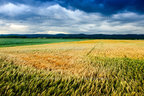cornfield with storm cloudsの写真素材 [FYI00708002]