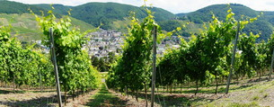 vineyard near bernkastel\r\nの写真素材 [FYI00708789]