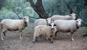 sheep in mallorcaの写真素材 [FYI00708997]