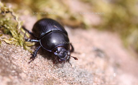 forest dung beetle anoplotrupes stercorosus as macro recordingの写真素材 [FYI00709046]