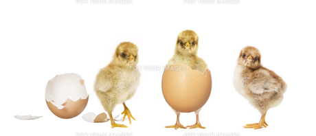 hatch three chicksの写真素材 [FYI00709484]