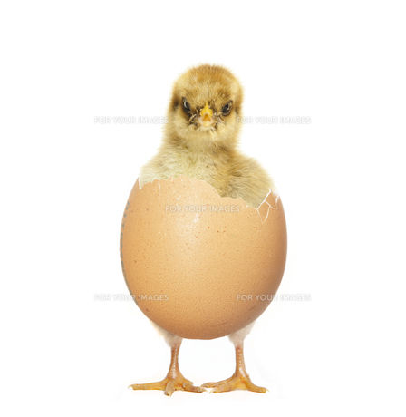 chick hatching from eggの写真素材 [FYI00709488]