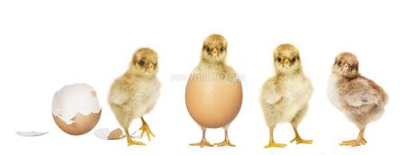 hatch four chicksの写真素材 [FYI00709493]