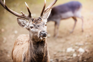 red deer stag in autumn fall forestの写真素材 [FYI00709767]