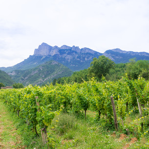 vineyard in provenceの写真素材 [FYI00710097]