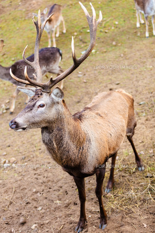 red deer stag on meadowの写真素材 [FYI00710940]