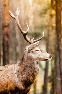red deer stag in autumn fall forestの写真素材 [FYI00711861]