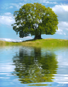 big old tree as a single tree with reflection in the lakeの写真素材 [FYI00717198]