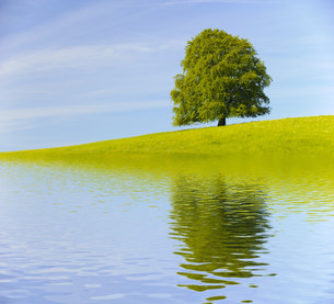big old tree as a single tree with reflection in the lakeの写真素材 [FYI00717201]