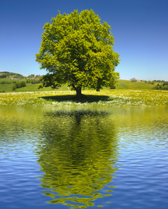 big old tree as a single tree with reflection in the lakeの写真素材 [FYI00717203]