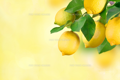 branches with lemon,space for textの写真素材 [FYI00717552]