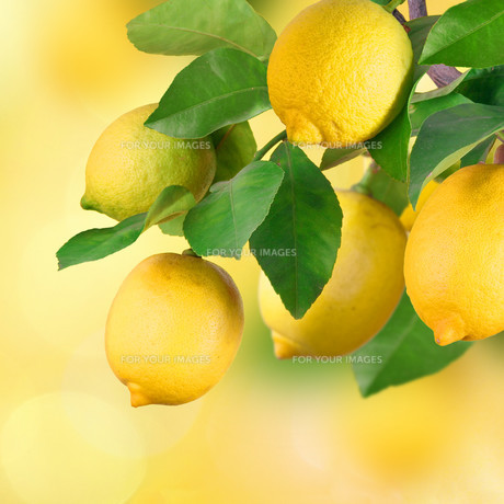 branches with lemon,space for textの写真素材 [FYI00717553]