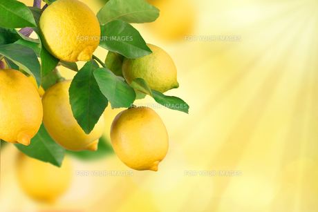 branches with lemon,space for textの写真素材 [FYI00717554]