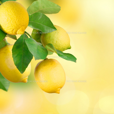 branches with lemon,space for textの写真素材 [FYI00717556]
