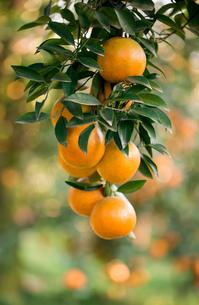 fresh orangeの写真素材 [FYI00720376]