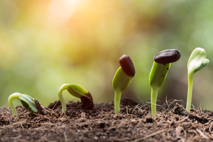 seed root on soil with sunbeam begining conceptの写真素材 [FYI00721608]