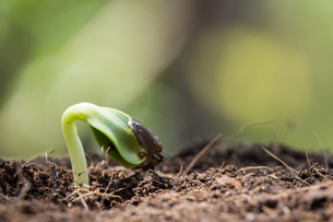 closeup seed root on soil new life start conceptの写真素材 [FYI00721612]