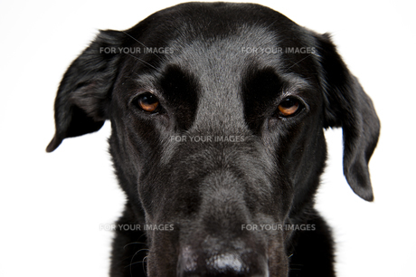 black labrador in front of a white backgroundの写真素材 [FYI00721642]