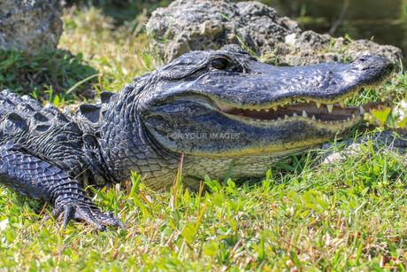 reptiles_amphibiansの素材 [FYI00723689]