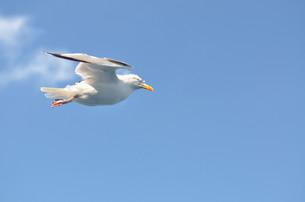 gull in flightの写真素材 [FYI00724059]