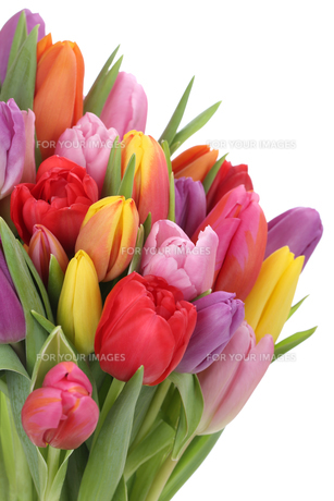bouquet with tulips in spring or mother's cutの写真素材 [FYI00725250]