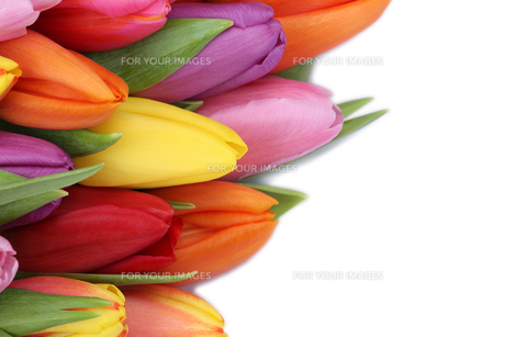 tulip flowers in spring or mothers with copy spaceの写真素材 [FYI00725268]