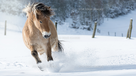 horse gallops through deep snowの写真素材 [FYI00727105]