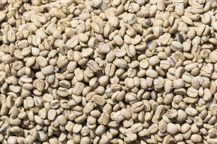 raw kaffebohnen when dry in costa ricaの写真素材 [FYI00730521]