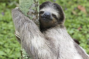 three-toed sloth in the rainforest of costa ricaの素材 [FYI00730522]