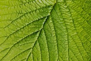leafの素材 [FYI00734909]