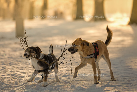 dogs at play in the snowの写真素材 [FYI00735056]