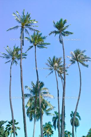 ヤシの木の写真素材 [FYI00735326]