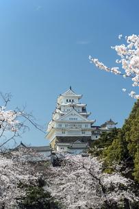 姫路城東面と桜の写真素材 [FYI00735393]