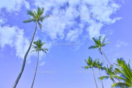 ヤシの木の写真素材 [FYI00735506]