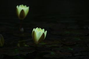 睡蓮の写真素材 [FYI00736051]