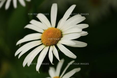 フランス菊の写真素材 [FYI00736110]