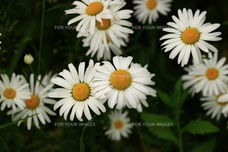 フランス菊の写真素材 [FYI00736115]