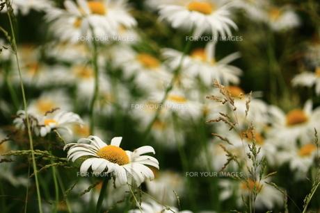 フランス菊の写真素材 [FYI00736116]