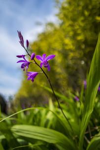 佃島河岸の紫蘭の写真素材 [FYI00736231]