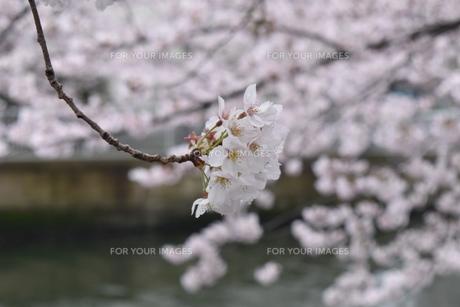 満開の桜の花と川の写真素材 [FYI00736625]