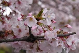 満開に咲くたくさんの桜の花の写真素材 [FYI00736627]