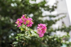 初芝運河沿緑地の百日紅の花の写真素材 [FYI00736657]
